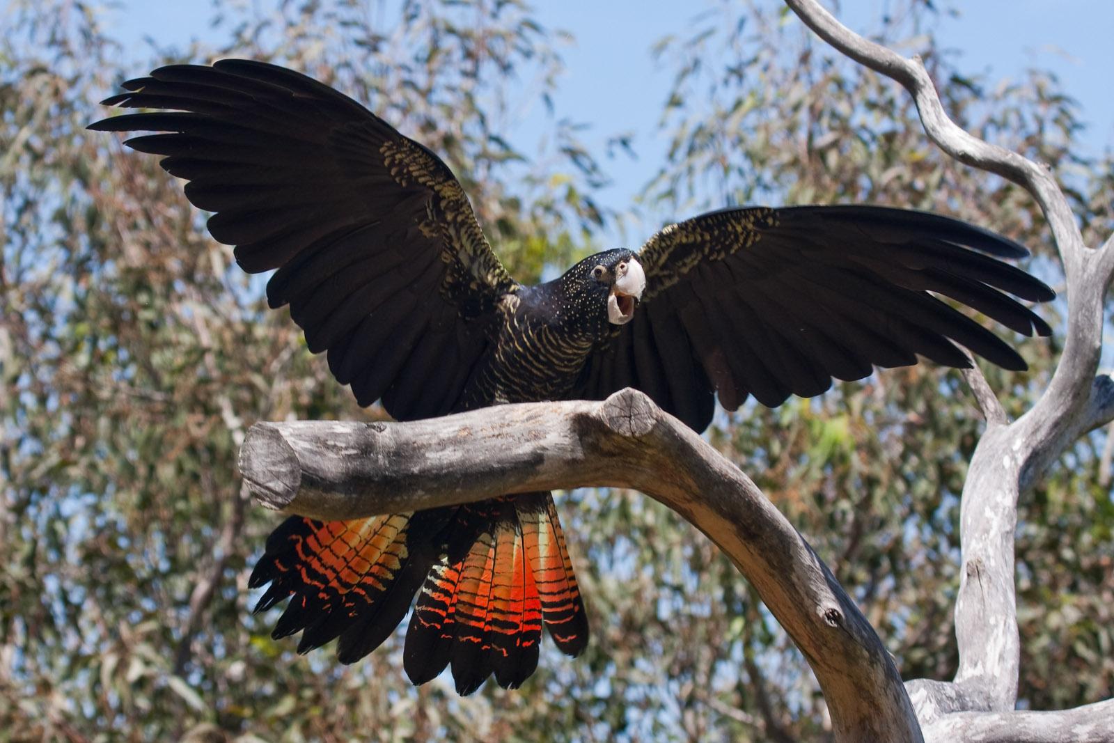 Краснохвостый черный какаду